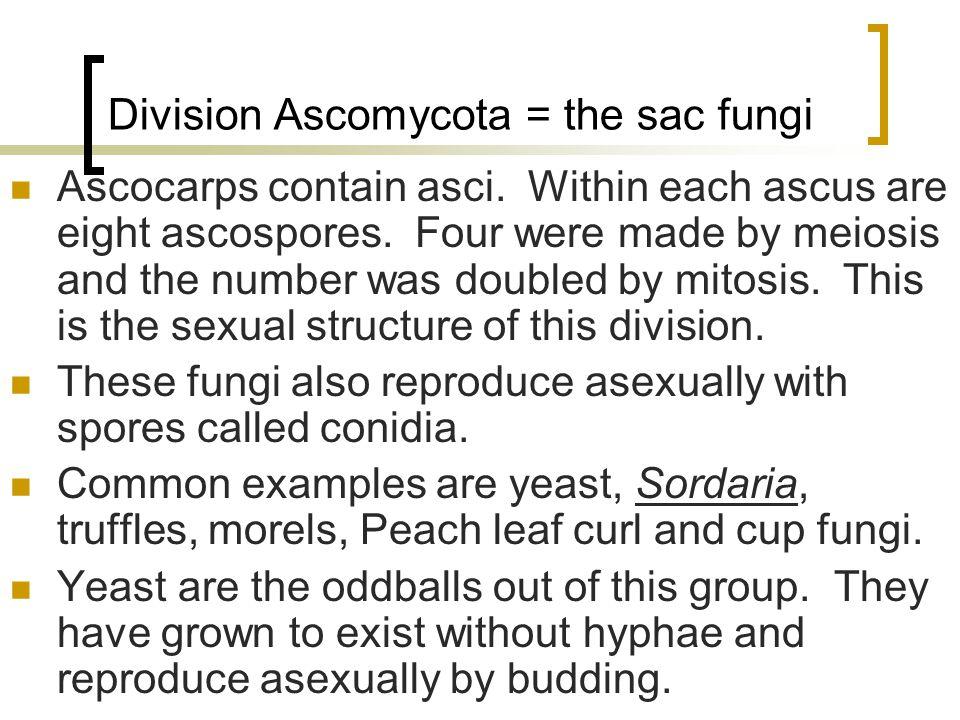 Pilobolus: An Explosive Zygomycete on cow dung