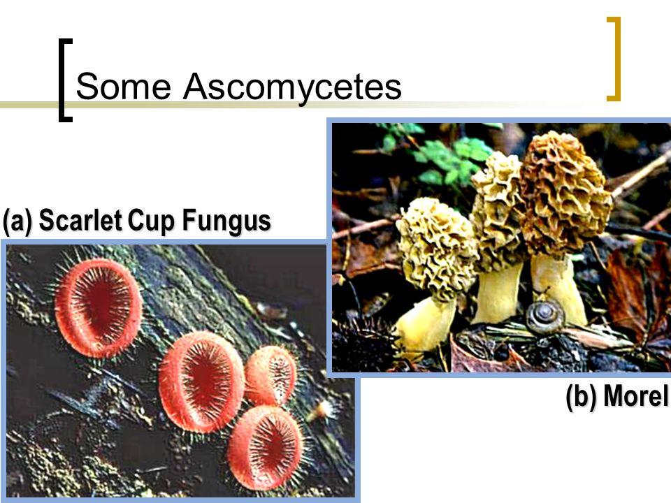 Each sac contains 8 ascospores ex.Sordaria