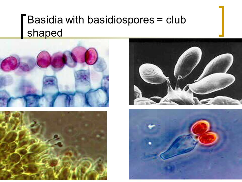Division Basidiomycota = club fungi The most common state for this fungus is an N + N stage called dikaryogamy. It occurs after a (+) and a (-) hyphae
