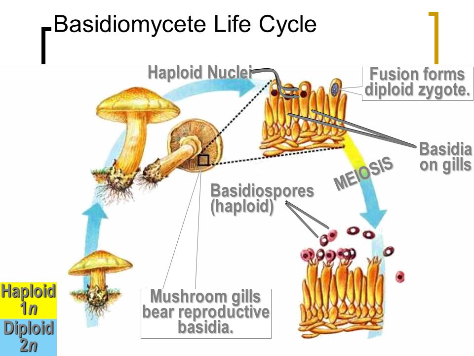 Basidia with basidiospores = club shaped