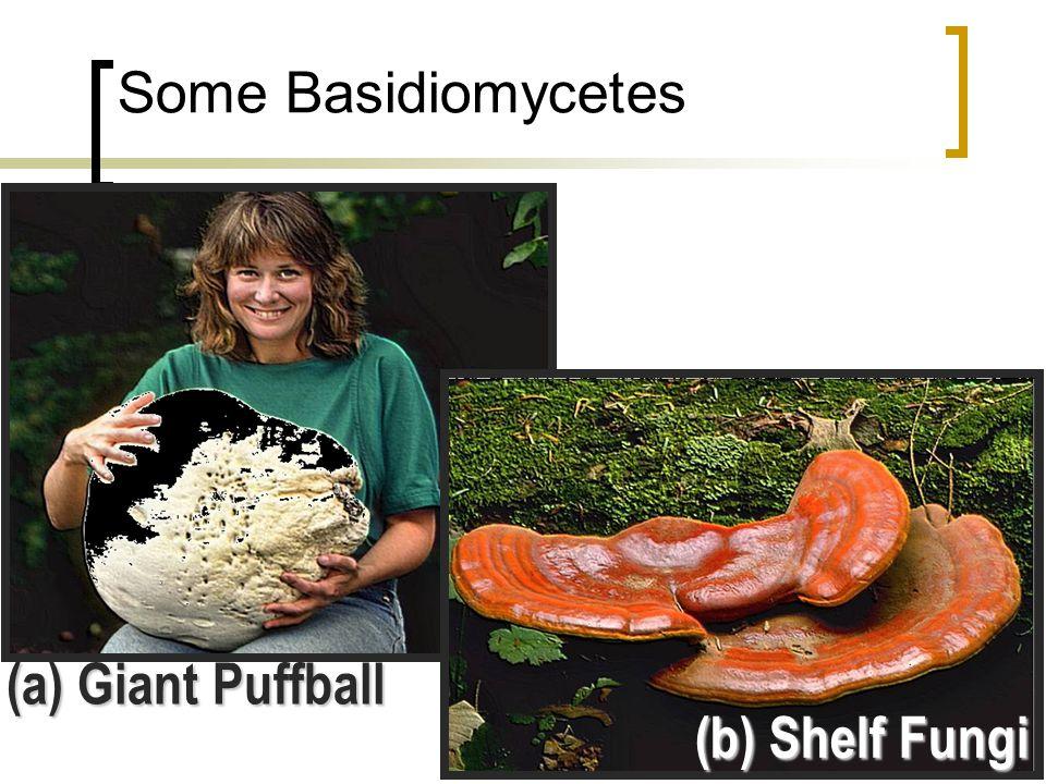 """Basidiomycete Life Cycle Diploid 2 n Haploid 1 n Basidia on gills Basidiospores (haploid) """"+"""" Mating Strain """"-"""" Mating Strain Basidiospores germinate"""