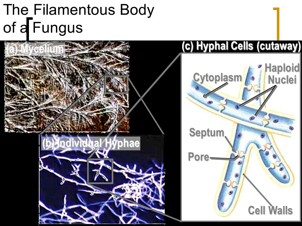 The body of a fungus is called the mycelium. The mycelium is composed of hyphae, which are hair-like filaments. They are usually haploid or 1N. The re