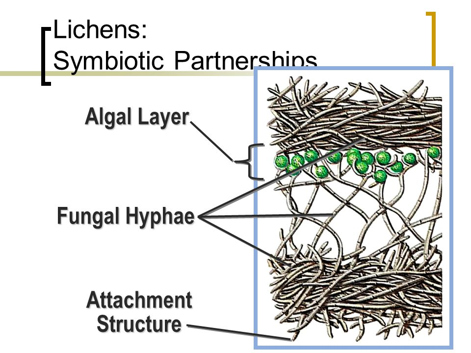 Ecological Impact of Fungi Symbiotic relationships  Lichens Association between  Division Ascomycetes, and  Unicellular green algae or Cyanobacteri