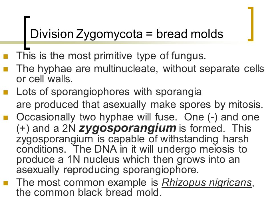 Division Zygomycota = bread molds This is the most primitive type of fungus.