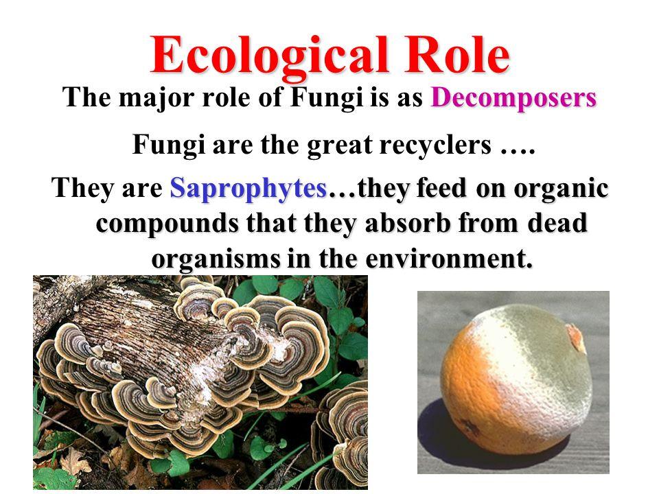 Phylum Basidiomycota Club Fungi Mushrooms Puffballs Shelf (Bracket) Fungi Underground mycelia grow upward to produce a reproductive structure called a basidiocarp.