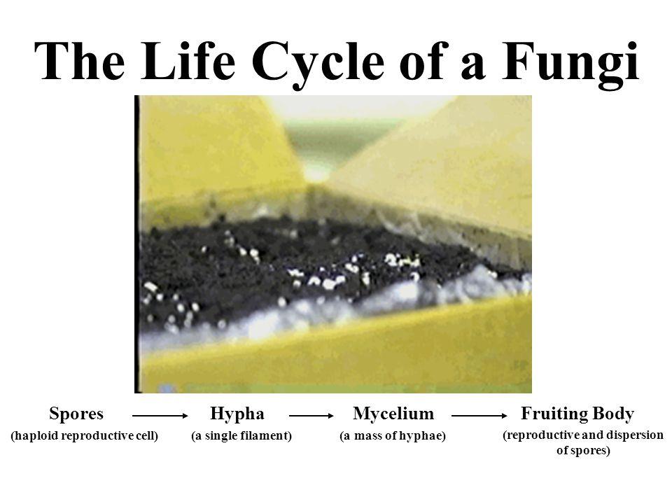 Spore.Spores are single, haploid (n) reproductive cells.