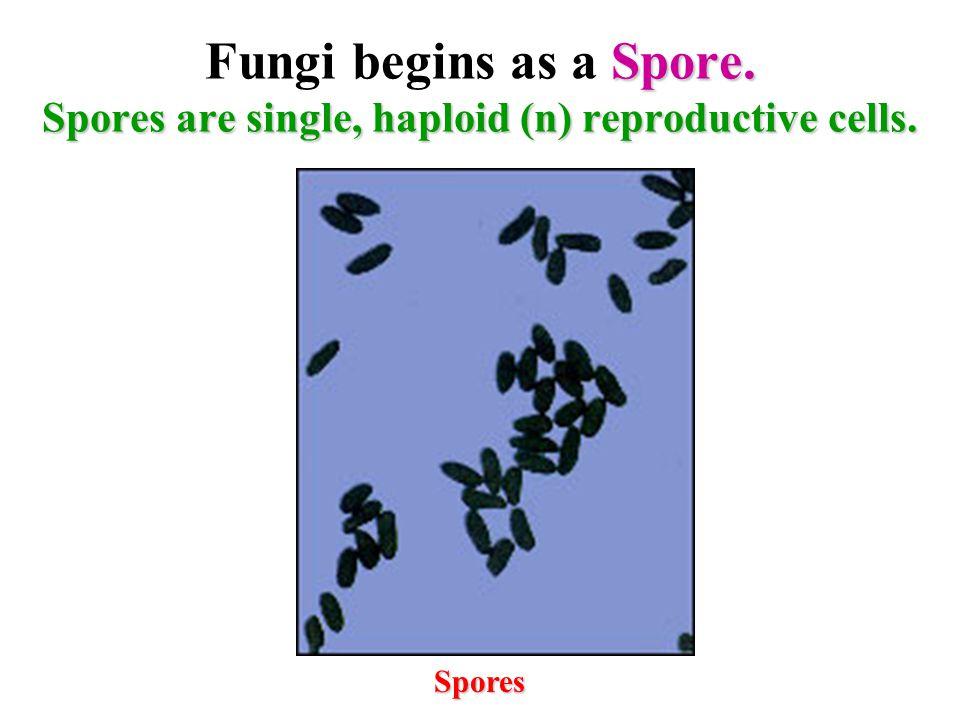 A Spore germinates and develops a Hypha. Spore Hypha/Filament Nutrient
