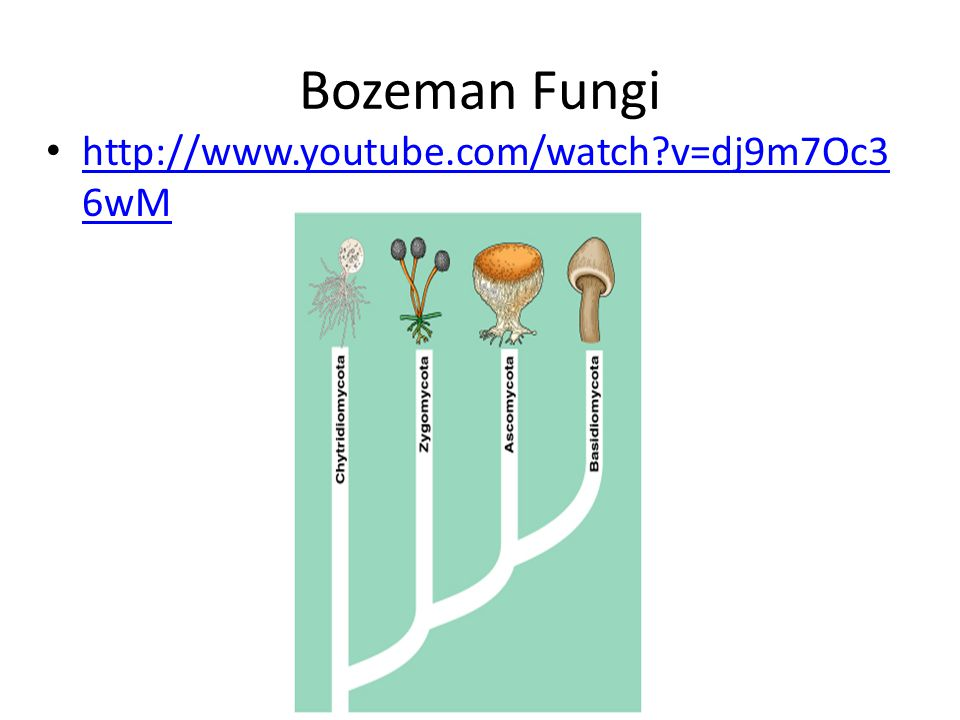 Bozeman Fungi http://www.youtube.com/watch?v=dj9m7Oc3 6wM http://www.youtube.com/watch?v=dj9m7Oc3 6wM