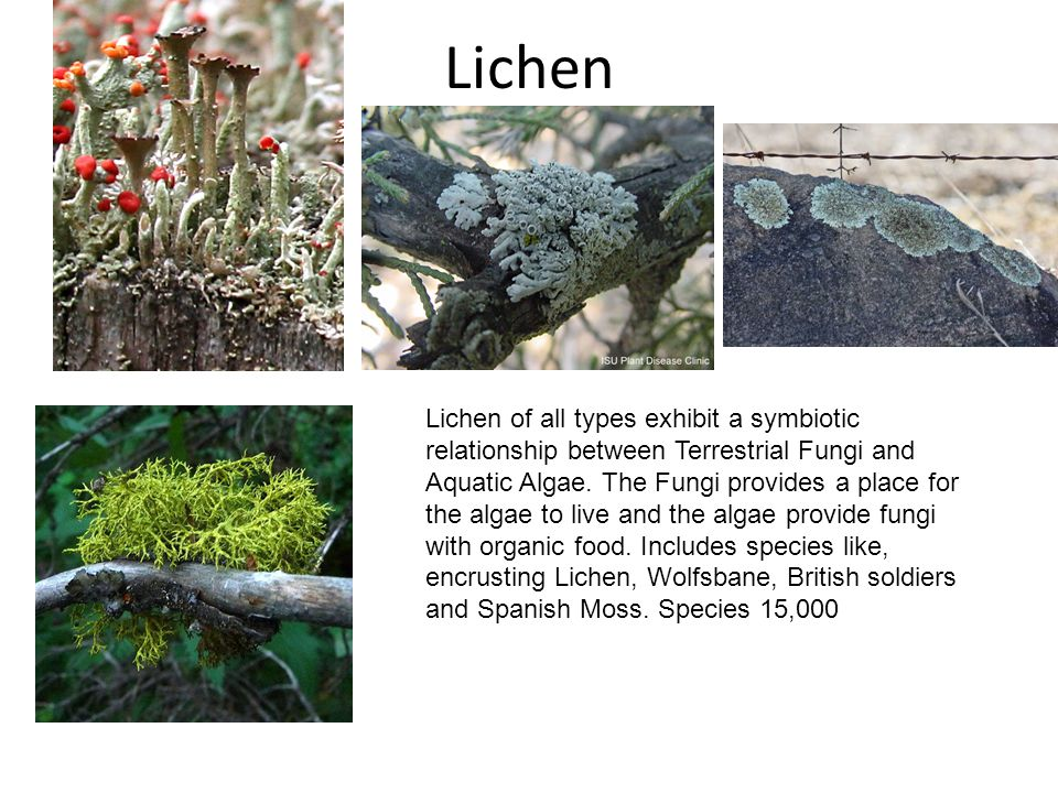 Lichen Lichen of all types exhibit a symbiotic relationship between Terrestrial Fungi and Aquatic Algae. The Fungi provides a place for the algae to l