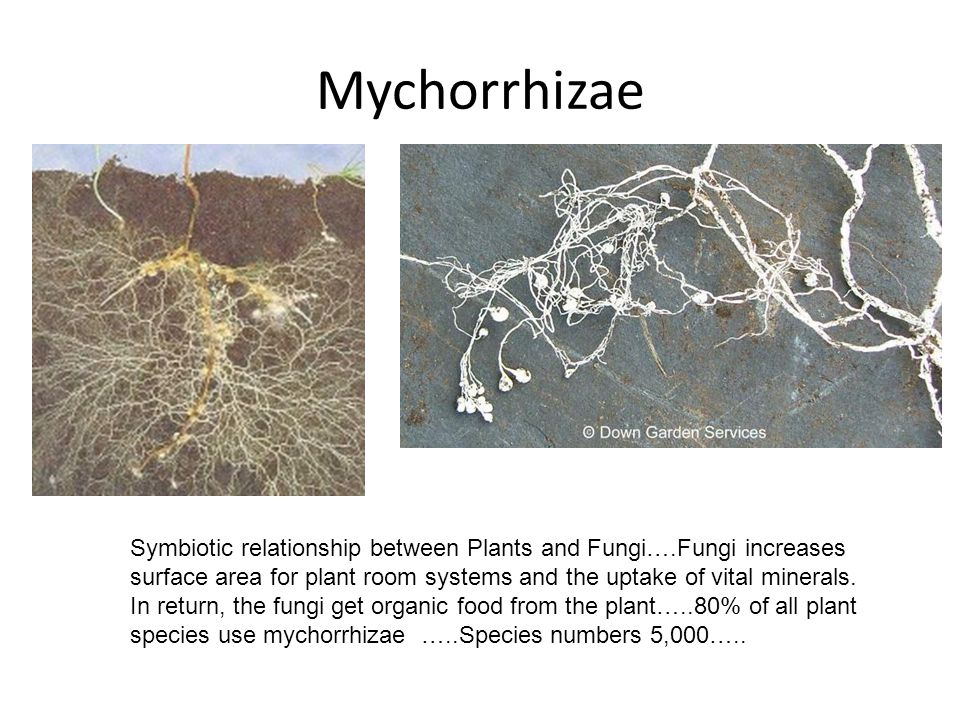 Mychorrhizae Symbiotic relationship between Plants and Fungi….Fungi increases surface area for plant room systems and the uptake of vital minerals. In