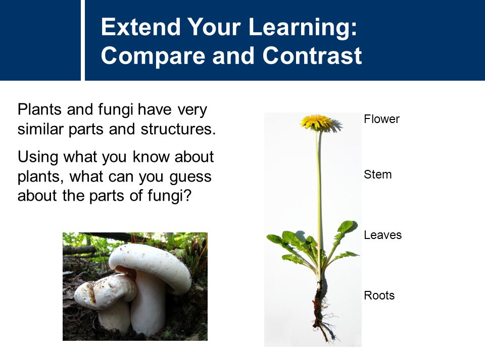 Extend Your Learning: Compare and Contrast Plants and fungi have very similar parts and structures. Using what you know about plants, what can you gue