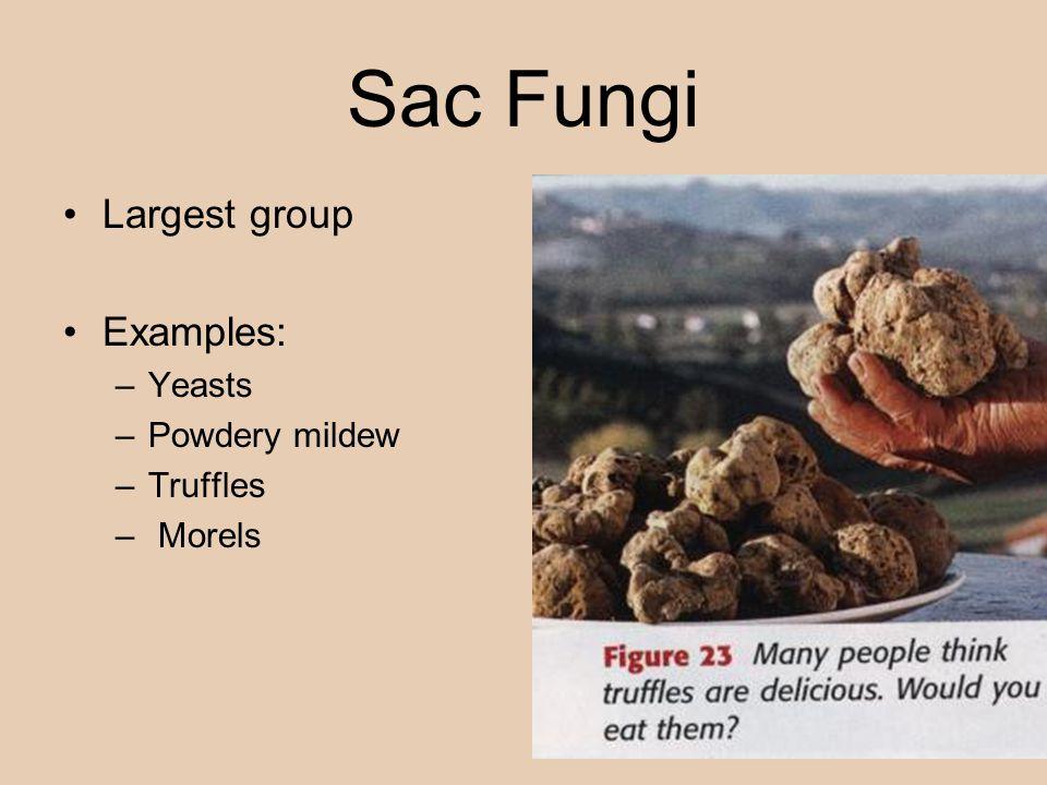Sac Fungi Largest group Examples: –Yeasts –Powdery mildew –Truffles – Morels
