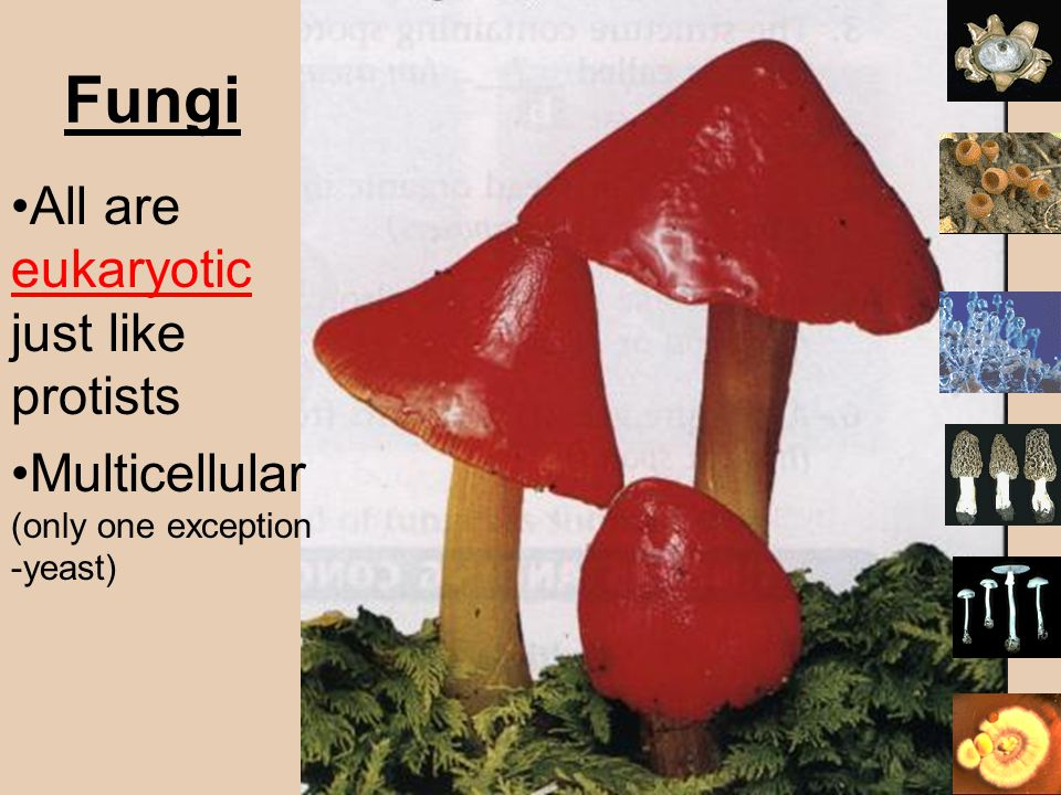 Fungi All are eukaryotic just like protists Multicellular (only one exception -yeast)