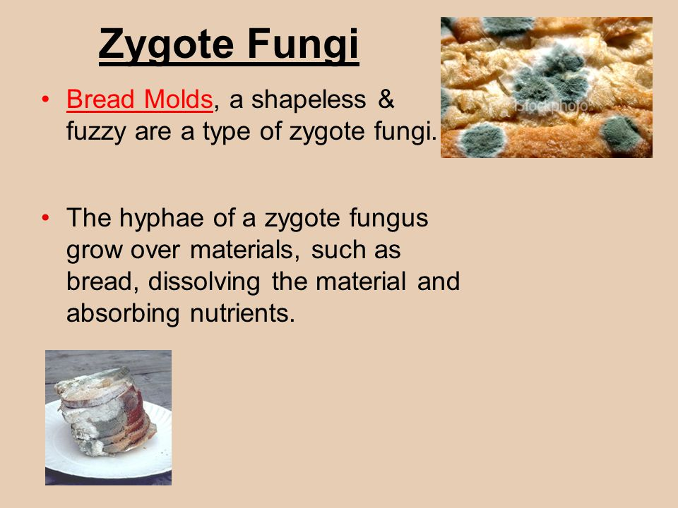 Zygote Fungi Bread Molds, a shapeless & fuzzy are a type of zygote fungi. The hyphae of a zygote fungus grow over materials, such as bread, dissolving