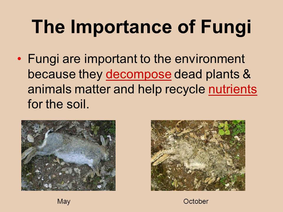 The Importance of Fungi Fungi are important to the environment because they decompose dead plants & animals matter and help recycle nutrients for the