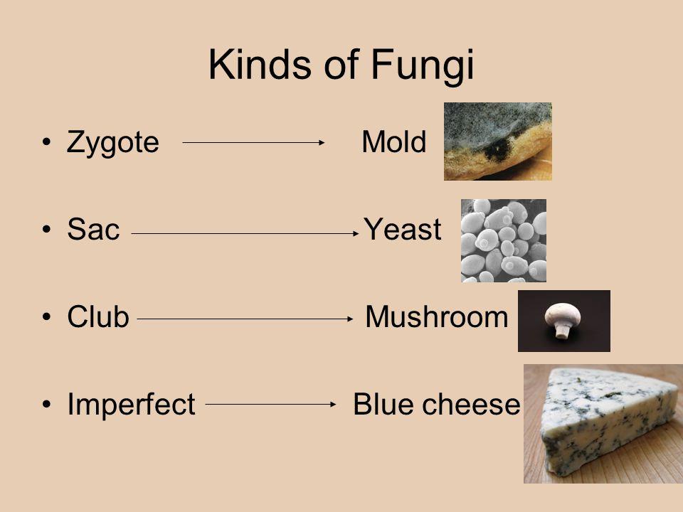 Kinds of Fungi Zygote Mold Sac Yeast Club Mushroom Imperfect Blue cheese