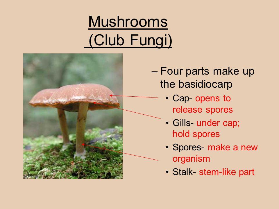 Mushrooms (Club Fungi) –Four parts make up the basidiocarp Cap- opens to release spores Gills- under cap; hold spores Spores- make a new organism Stal