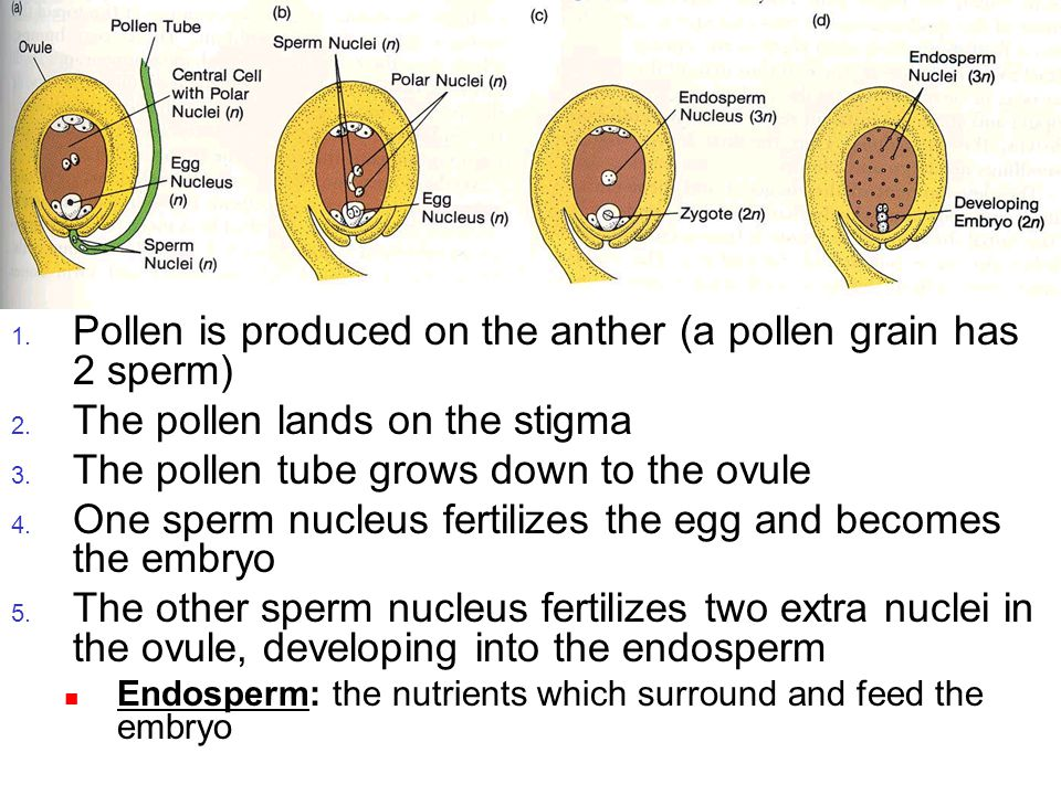 Pollination 1. Pollen is produced on the anther (a pollen grain has 2 sperm) 2. The pollen lands on the stigma 3. The pollen tube grows down to the ov