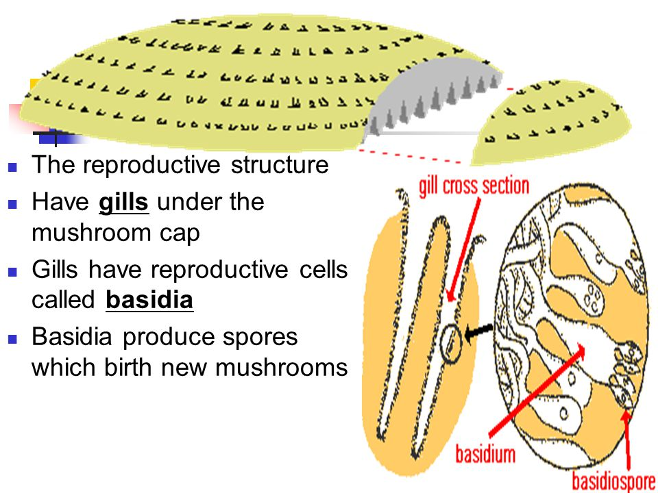 Mushrooms The reproductive structure Have gills under the mushroom cap Gills have reproductive cells called basidia Basidia produce spores which birth