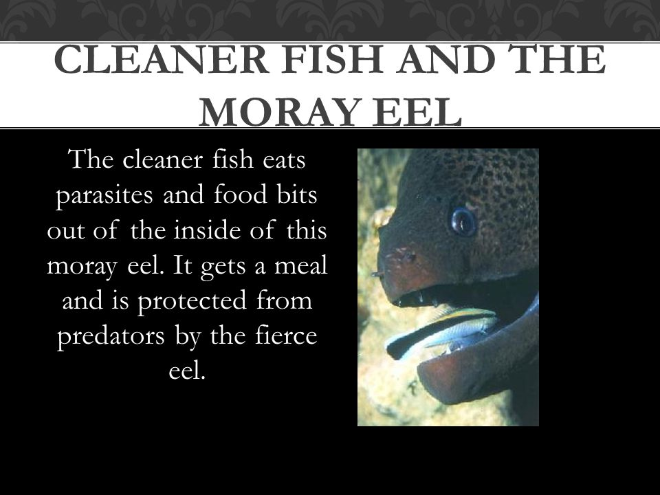 The cleaner fish eats parasites and food bits out of the inside of this moray eel. It gets a meal and is protected from predators by the fierce eel. C