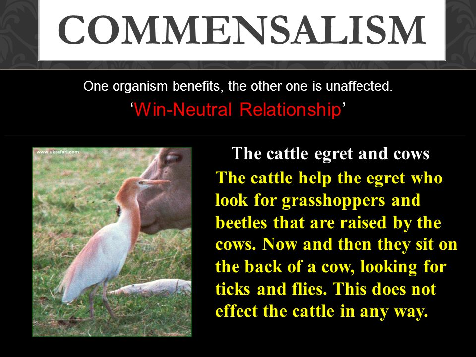 One organism benefits, the other one is unaffected. 'Win-Neutral Relationship' COMMENSALISM The cattle help the egret who look for grasshoppers and be