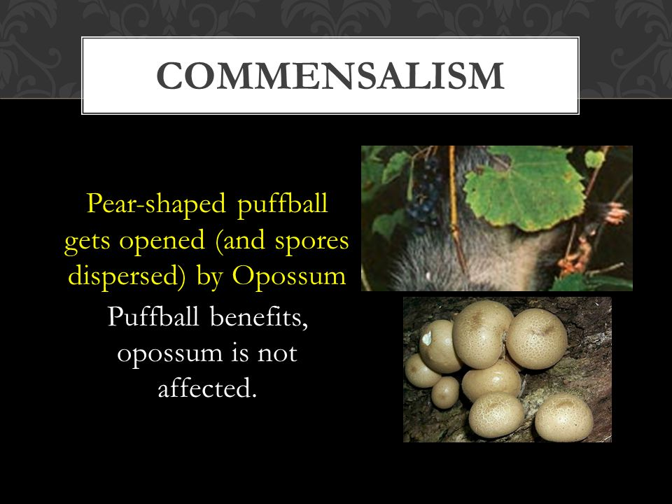 Pear-shaped puffball gets opened (and spores dispersed) by Opossum Puffball benefits, opossum is not affected.