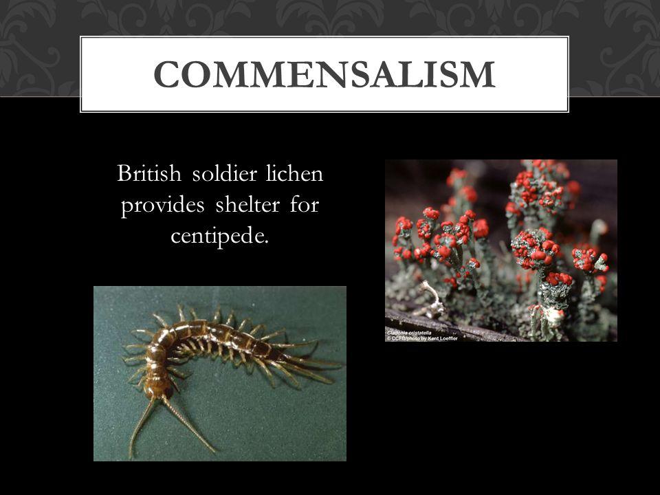 British soldier lichen provides shelter for centipede. COMMENSALISM