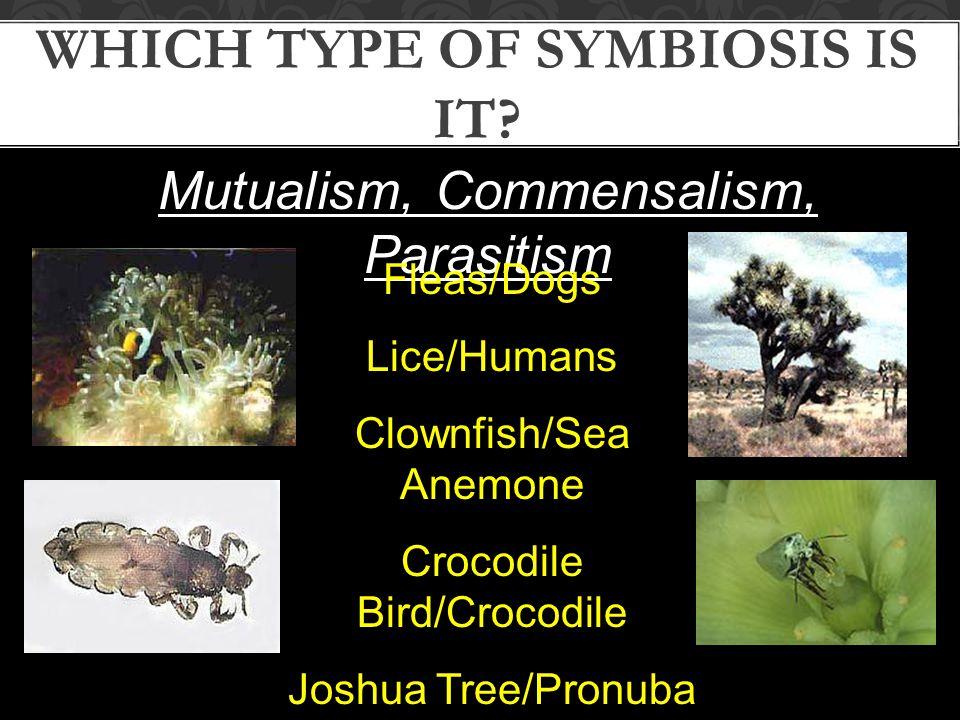 Mutualism, Commensalism, Parasitism WHICH TYPE OF SYMBIOSIS IS IT? Fleas/Dogs Lice/Humans Clownfish/Sea Anemone Crocodile Bird/Crocodile Joshua Tree/P