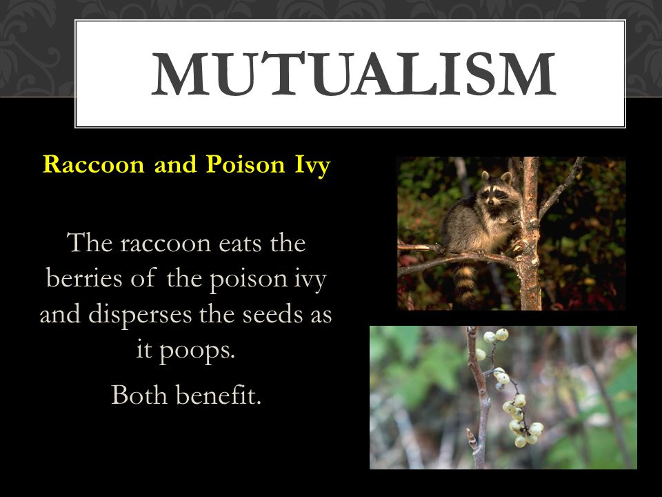 MUTUALISM Raccoon and Poison Ivy The raccoon eats the berries of the poison ivy and disperses the seeds as it poops.