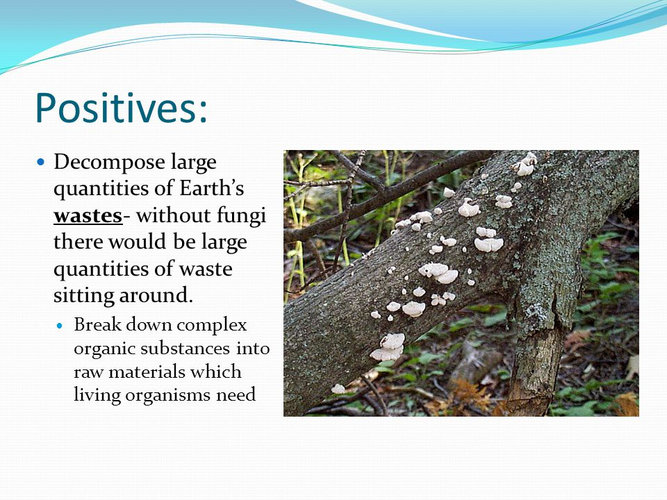 Positives: Decompose large quantities of Earth's wastes- without fungi there would be large quantities of waste sitting around. Break down complex org