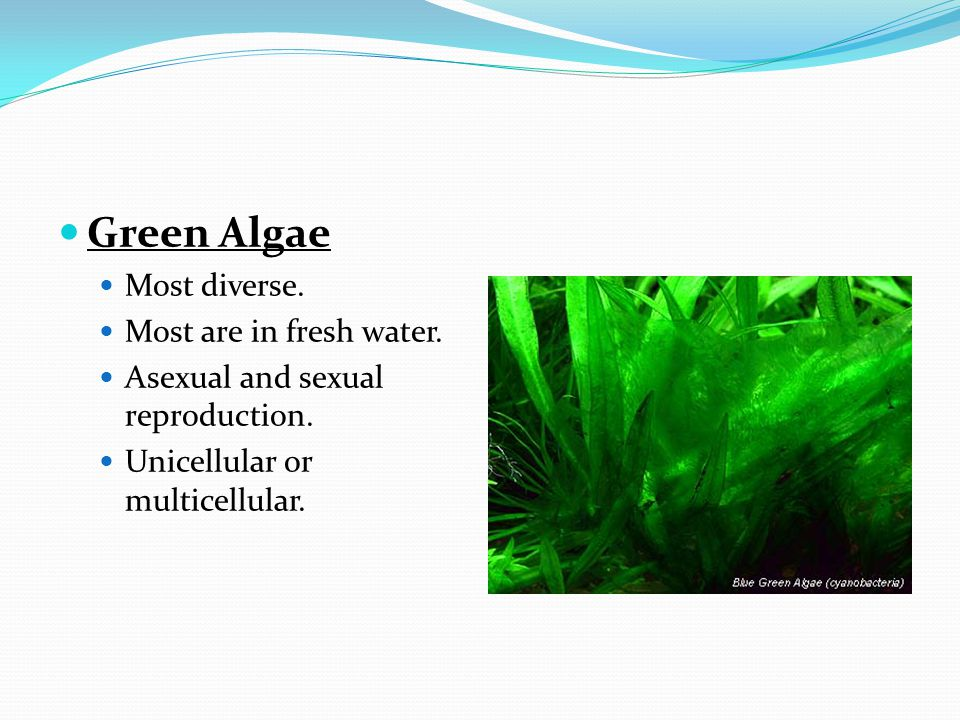 Green Algae Most diverse. Most are in fresh water. Asexual and sexual reproduction. Unicellular or multicellular.