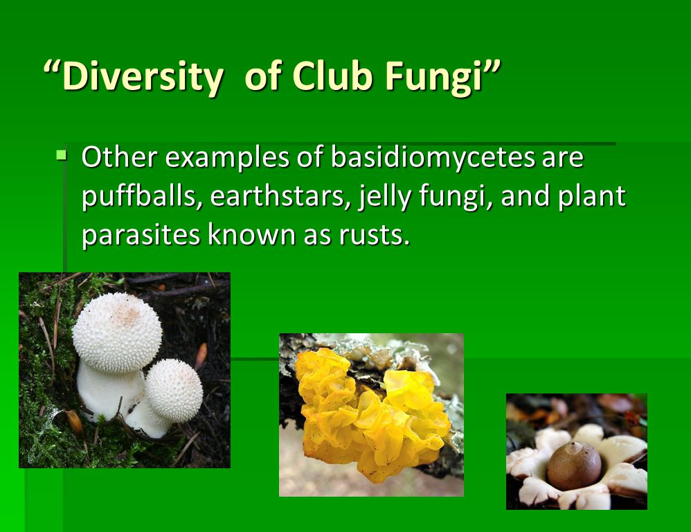 Diversity of Club Fungi BBBBasidiomycetes also include shelf fungi, which grow near the surfaces of dead or decaying trees.