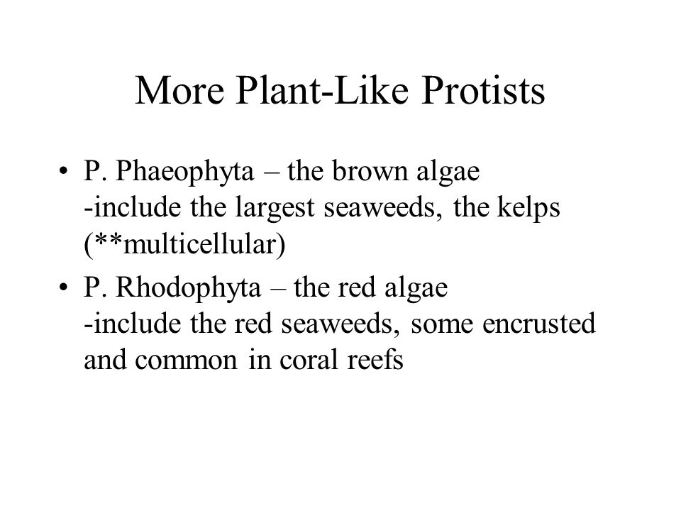More Plant-Like Protists P. Phaeophyta – the brown algae -include the largest seaweeds, the kelps (**multicellular) P. Rhodophyta – the red algae -inc