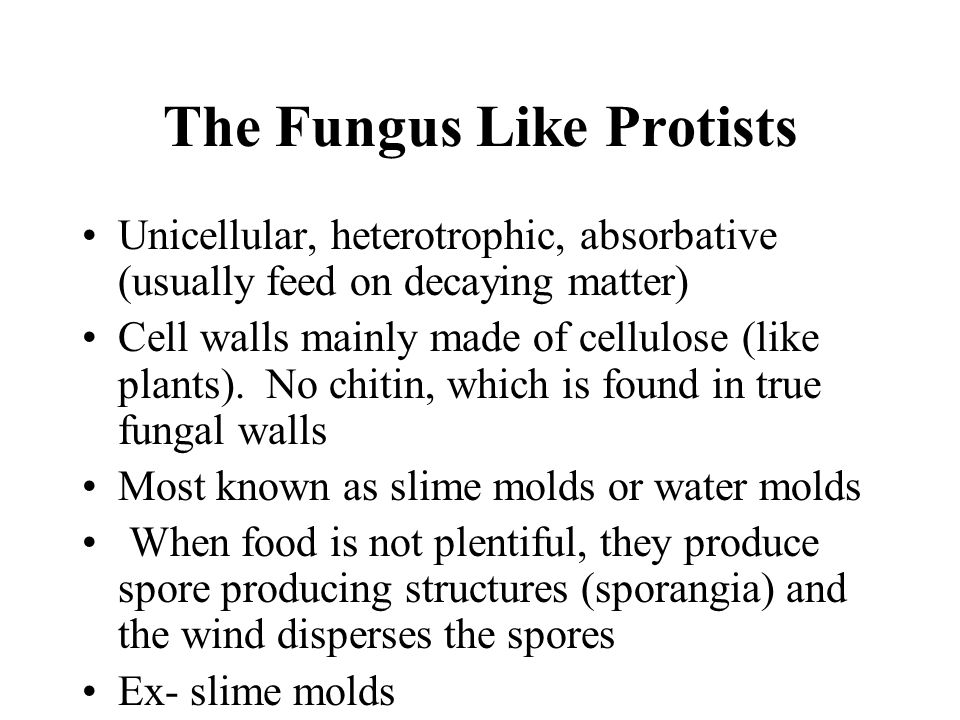 The Fungus Like Protists Unicellular, heterotrophic, absorbative (usually feed on decaying matter) Cell walls mainly made of cellulose (like plants).