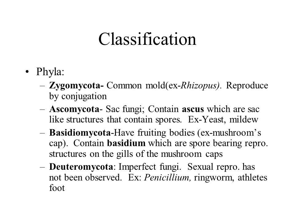 Classification Phyla: –Zygomycota- Common mold(ex-Rhizopus). Reproduce by conjugation –Ascomycota- Sac fungi; Contain ascus which are sac like structu
