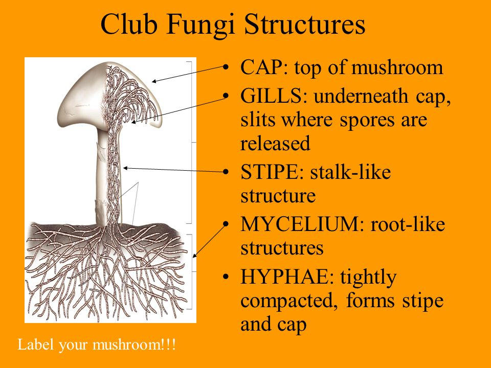 Club Fungi Structures CAP: top of mushroom GILLS: underneath cap, slits where spores are released STIPE: stalk-like structure MYCELIUM: root-like structures HYPHAE: tightly compacted, forms stipe and cap Label your mushroom!!!