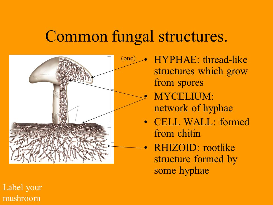 Common fungal structures.