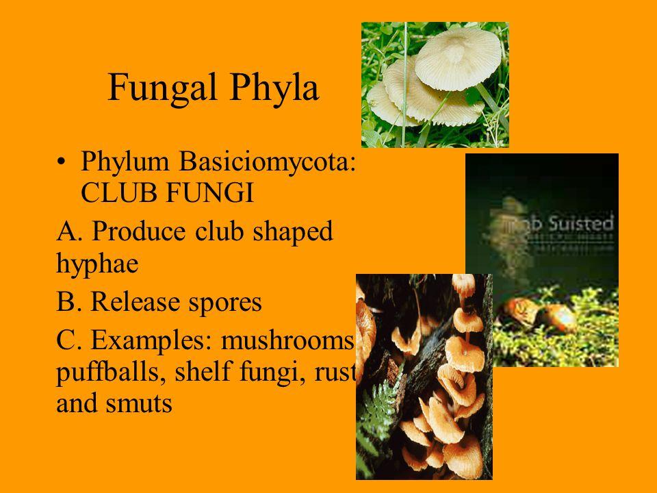 Fungal Phyla Phylum Basiciomycota: CLUB FUNGI A. Produce club shaped hyphae B. Release spores C. Examples: mushrooms, puffballs, shelf fungi, rusts an