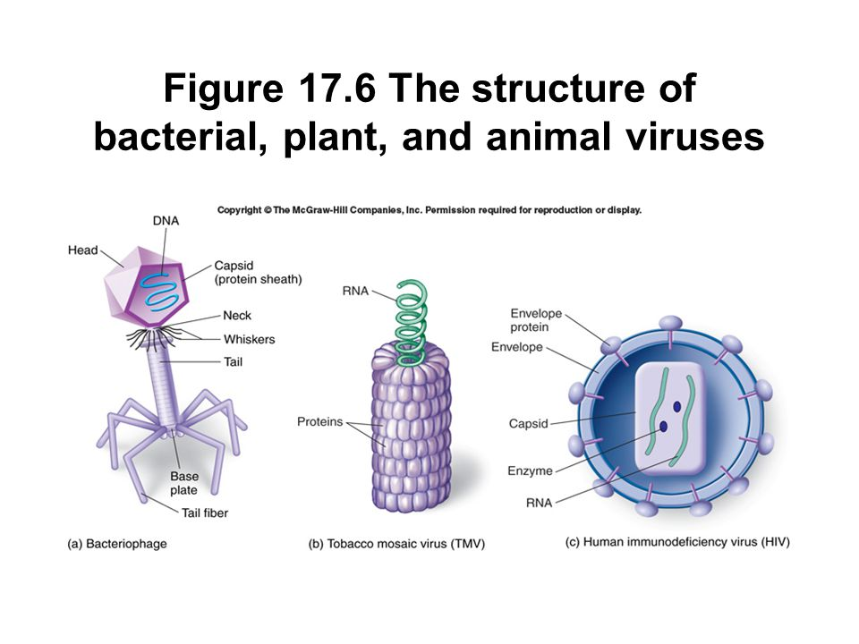 17.5 The Origin of Eukaryotic Cells Eukaryotic cells possess an internal structure called a nucleus The endosymbiotic theory suggests that at a critical stage in the evolution of eukaryotic cells, energy-metabolizing bacteria came to reside symbiotically within larger early eukaryotic cells
