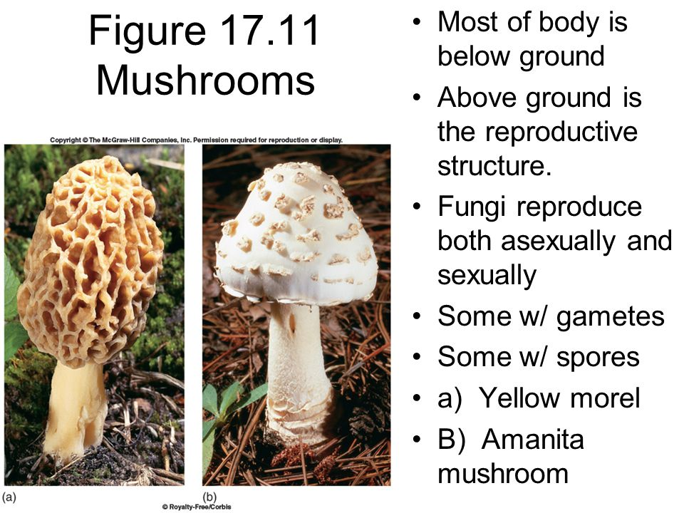 Figure 17.12 Many fungi produce spores Here are spores being released into the environment from a puffball fungus.