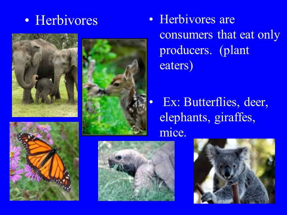 Herbivores Herbivores are consumers that eat only producers.