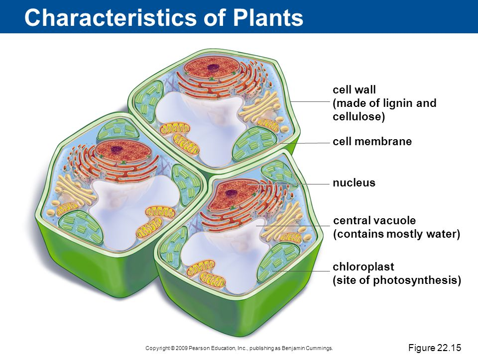 Copyright © 2009 Pearson Education, Inc., publishing as Benjamin Cummings. Characteristics of Plants Figure 22.15 cell wall (made of lignin and cellul