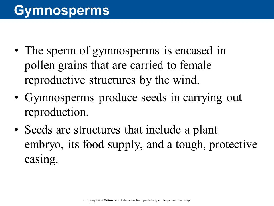 Copyright © 2009 Pearson Education, Inc., publishing as Benjamin Cummings. Gymnosperms The sperm of gymnosperms is encased in pollen grains that are c