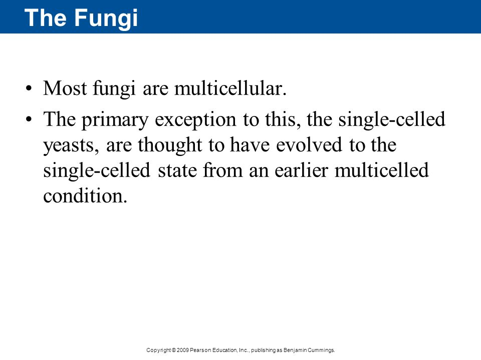 Copyright © 2009 Pearson Education, Inc., publishing as Benjamin Cummings. The Fungi Most fungi are multicellular. The primary exception to this, the