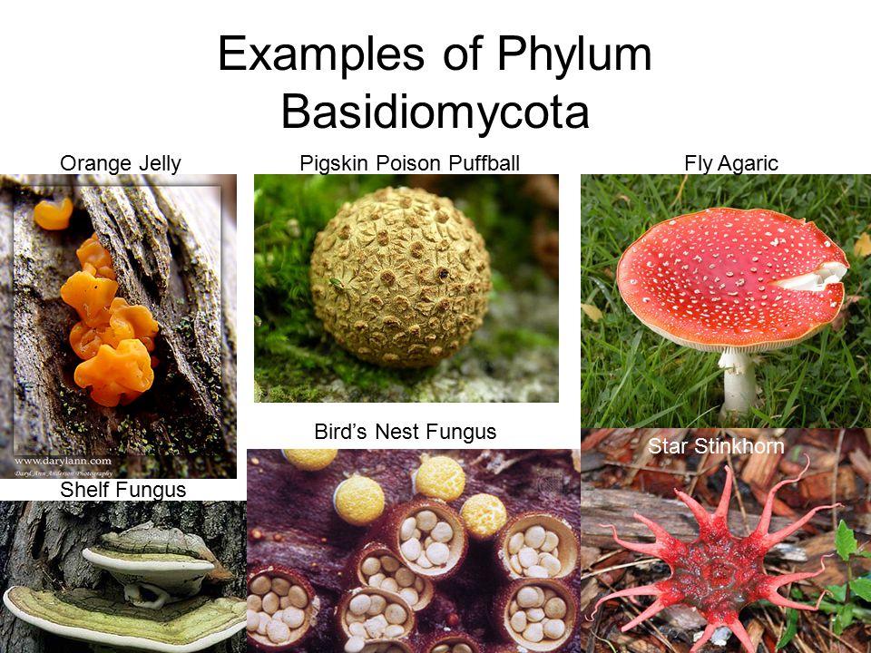 Examples of Phylum Basidiomycota Orange JellyPigskin Poison PuffballFly Agaric Star Stinkhorn Shelf Fungus Bird's Nest Fungus