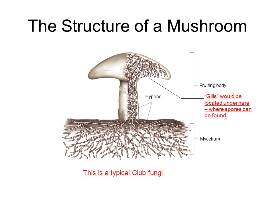Reproduction and Spreading of Fungi Most fungi reproduce both sexually and asexually Asexually – hyphae break off and grow on their own or scatter spores Some fungi lure animals with scent to help them disperse their spores over distances Fragmentation, spores, conjugation