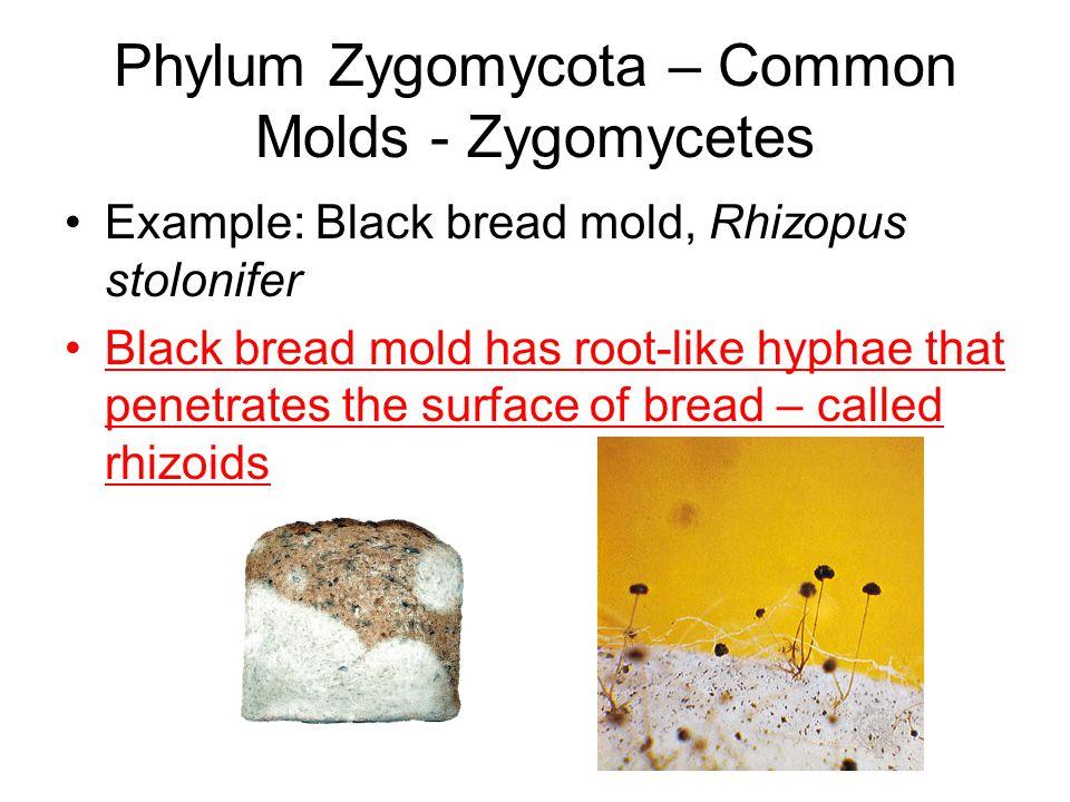 Phylum Zygomycota – Common Molds - Zygomycetes Example: Black bread mold, Rhizopus stolonifer Black bread mold has root-like hyphae that penetrates th
