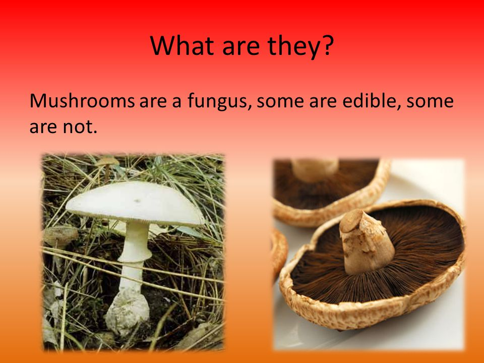 What are they Mushrooms are a fungus, some are edible, some are not.