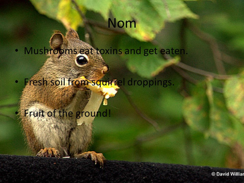 Nom Mushrooms eat toxins and get eaten. Fresh soil from squirrel droppings. Fruit of the ground!