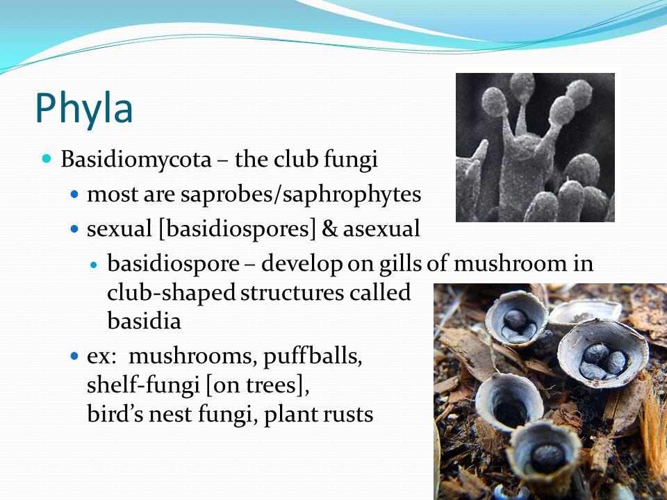 Phyla Basidiomycota – the club fungi most are saprobes/saphrophytes sexual [basidiospores] & asexual basidiospore – develop on gills of mushroom in cl